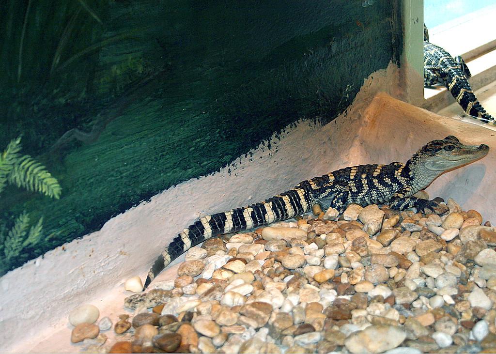 Little Alligators