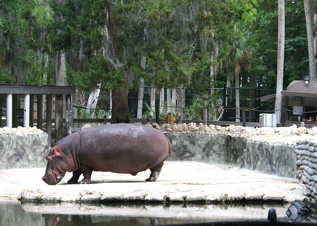 Hippo getting ready to enjoy the water