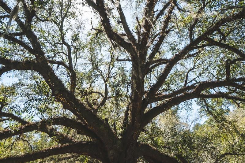 Live Oak at Alfred B. Maclay Gardens State Park in Tallahassee Florida