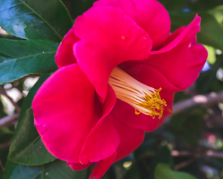 Camelia at Alfred B. Maclay Gardens State Park in Tallahassee Florida