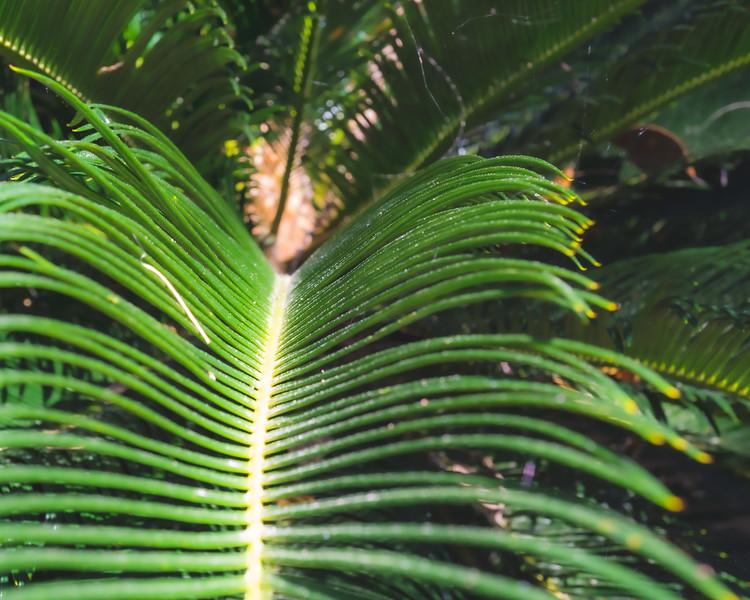 Sago Palm at Alfred B. Maclay Gardens State Park in Tallahassee Florida