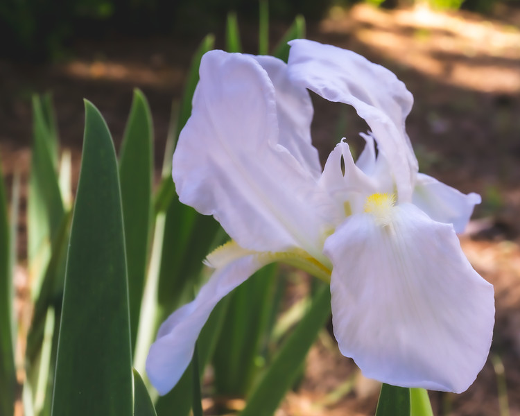 Iris at Alfred B. Maclay Gardens State Park in Tallahassee Florida