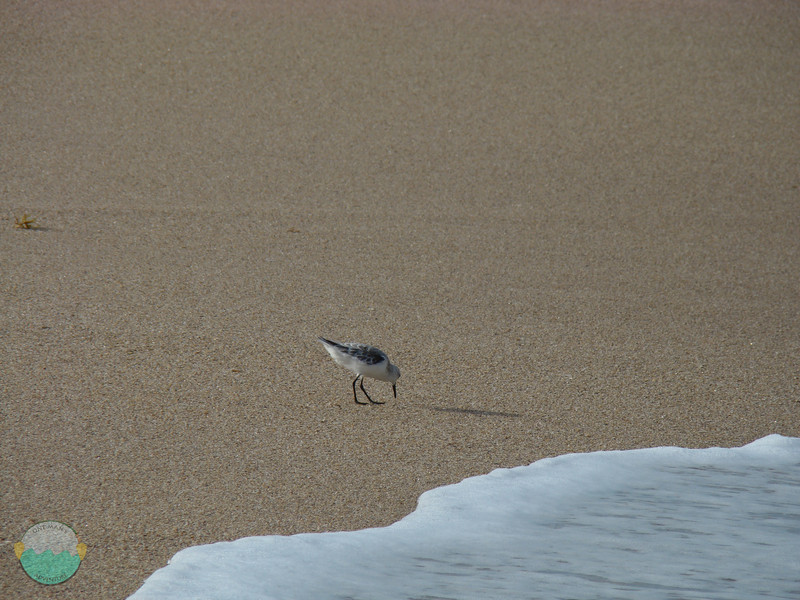 Bird hunting in the incoming tide.