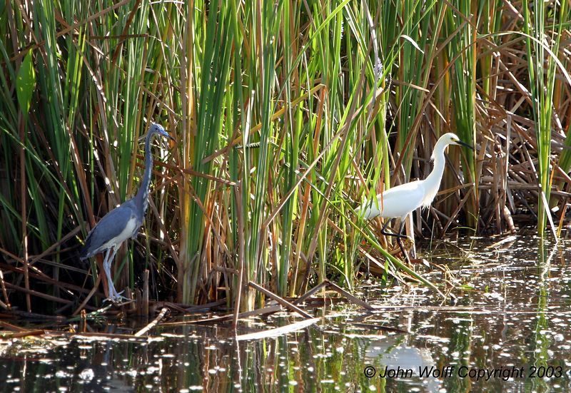 Blue Heron and Snowy Egret near the Everglades Nat Park