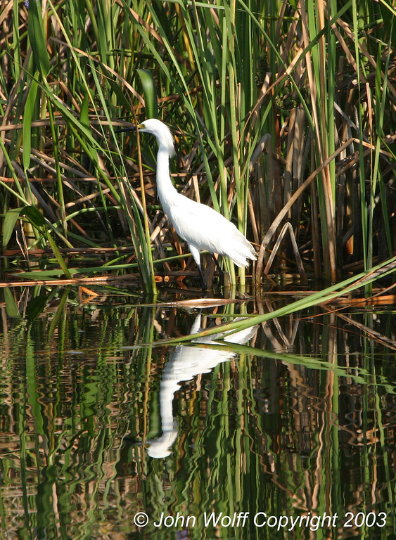 Snowy Egret with Reflection