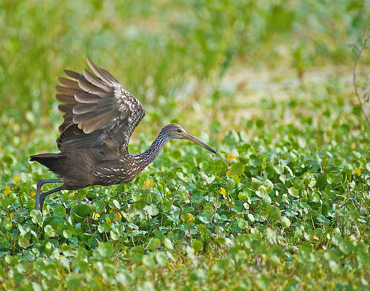 Limpkin blasting off South Florida Water Management Area 5A
