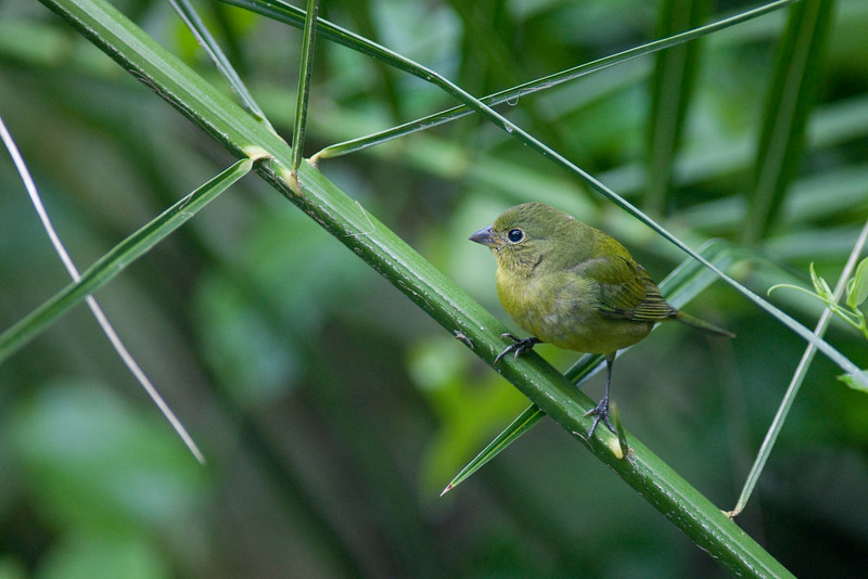 Corkscrew swamp - female painted bunting