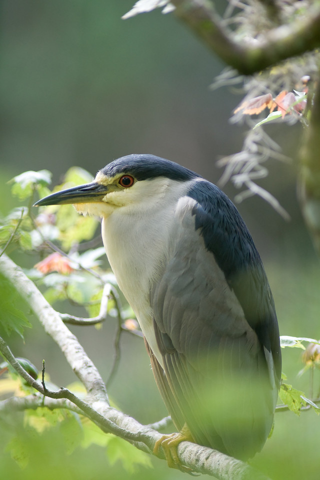 Corkscrew swamp - black crowned night heron