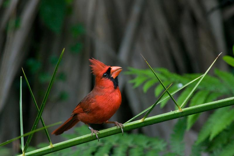 Corkscrew swamp - cardinal