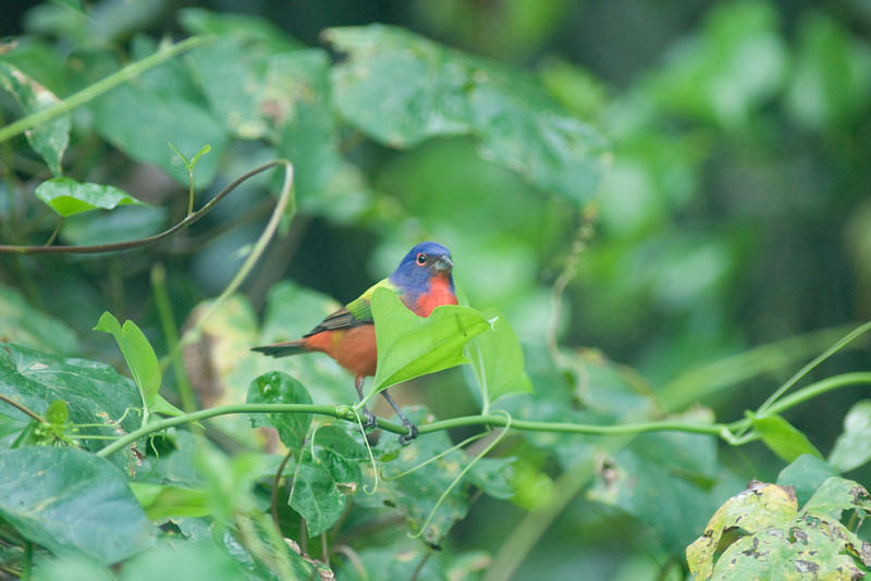 Corkscrew swamp - male painted bunting