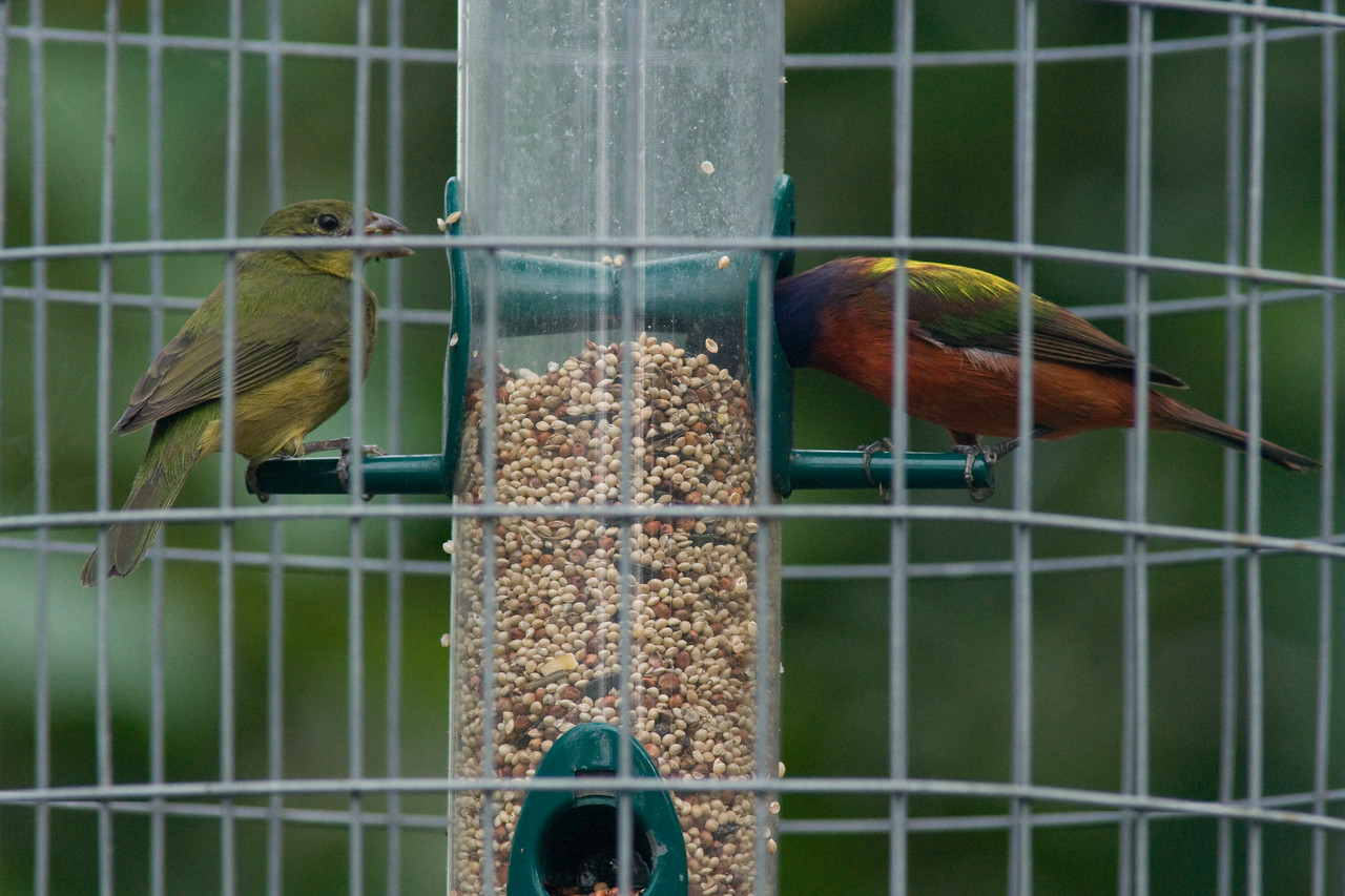 Corkscrew swamp - male and female painted bunting in protective screen around feeder