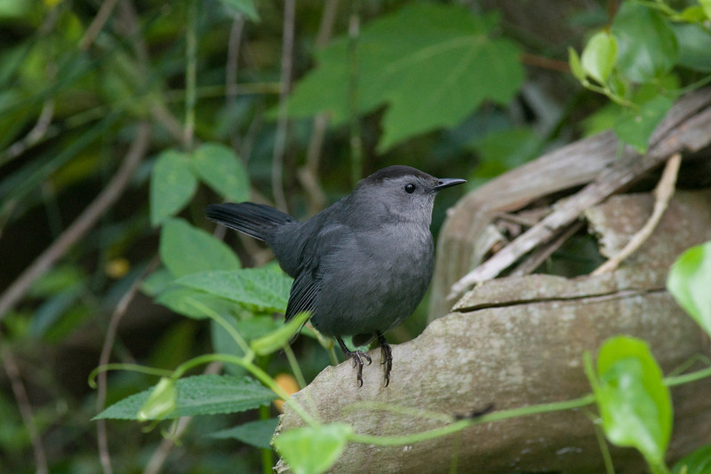 Corkscrew swamp - cat bird