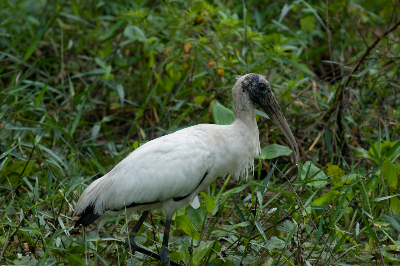 Corkscrew swamp - wood stork