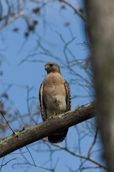 Corkscrew swamp - red shouldered hawk