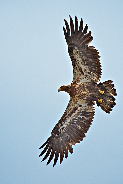 Immature eagle in Flight. Laurel Landfill. Laurel, FL