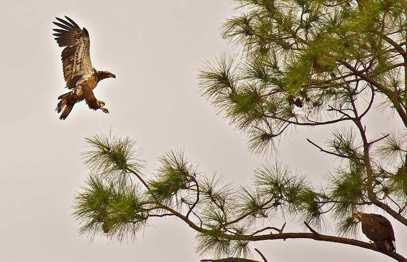 immature eagles, Laurel Landfill, Laurel FL