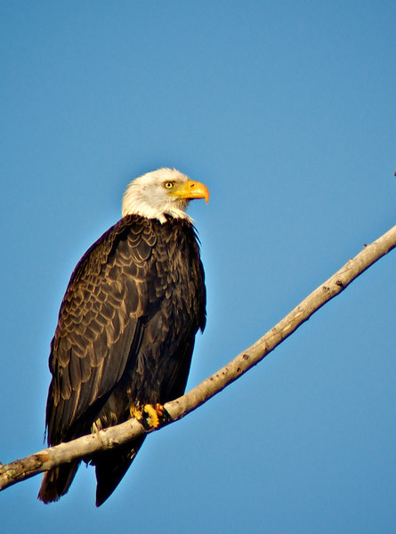 Eagle near J Ding Darling Preserve and Gulf Shore Pines community off Sanibel Captiva Road