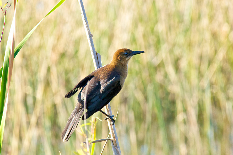 Boat-tailed Grackle female.
