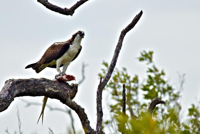 Birds SW FL - Osprey with lady fish