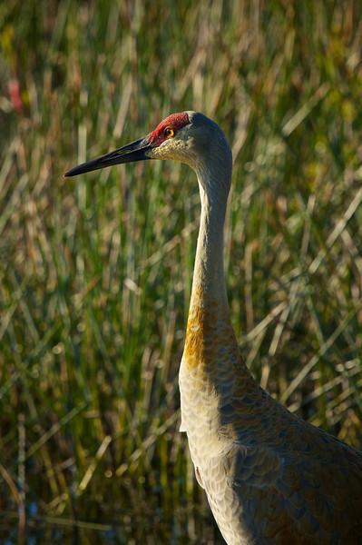 Sandhill Crane Harnes Marsh