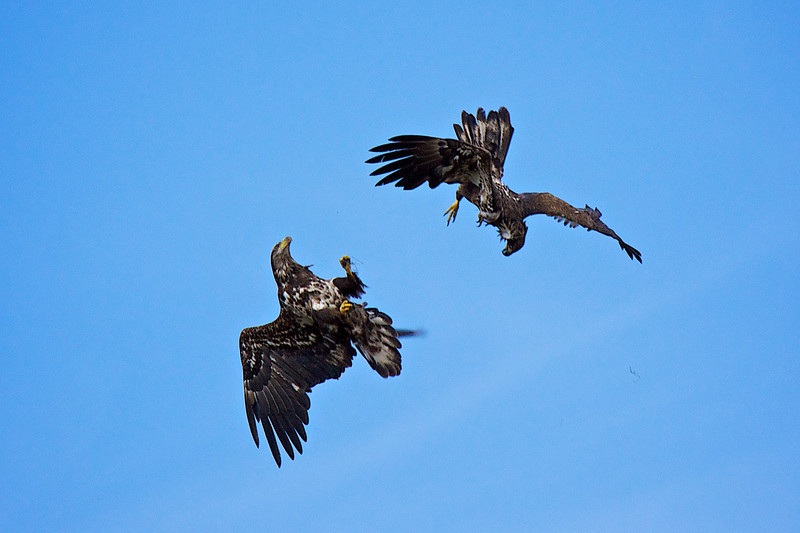 Bald Eagle mating display