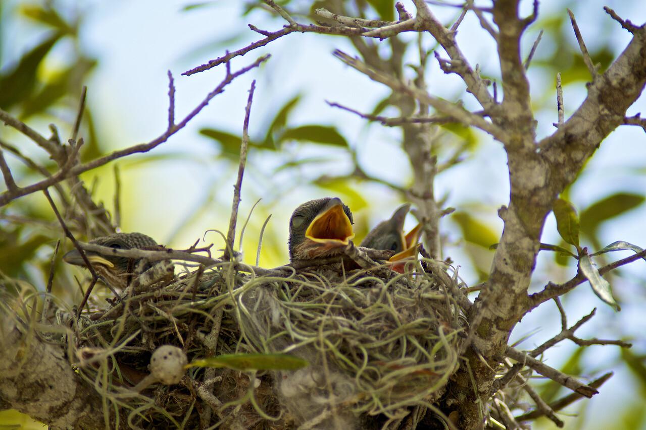 Loggerhead Shrike chicks