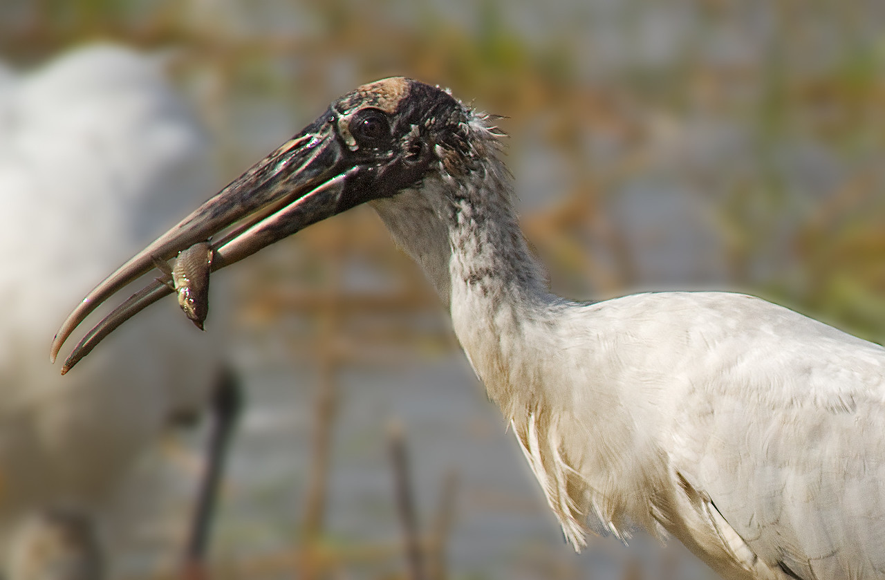 wood stork and catfish
