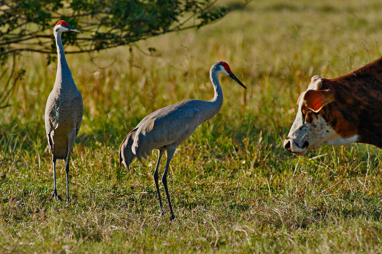 SONY DSC, Sand Hill Cranes