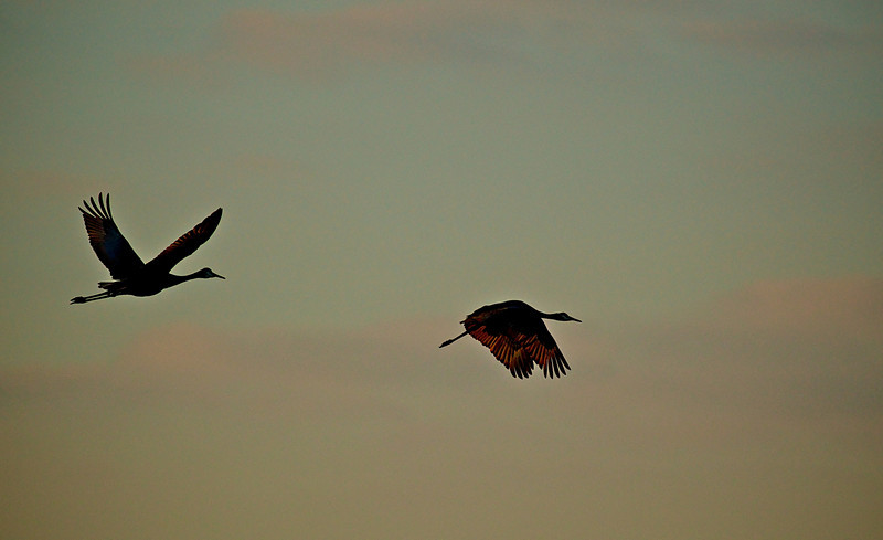 Sandhill Cranes heading back to the nest for the evening.