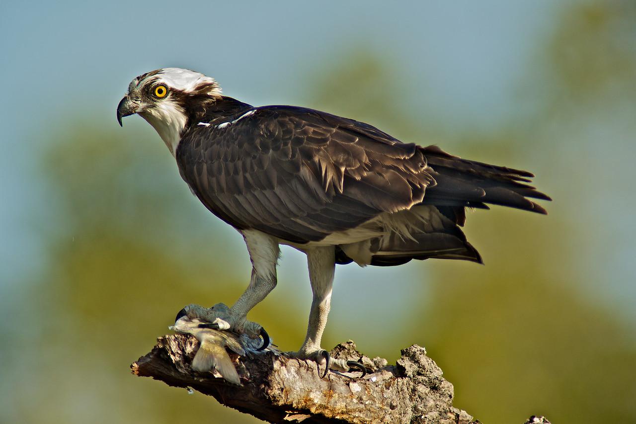 SWFL Birds