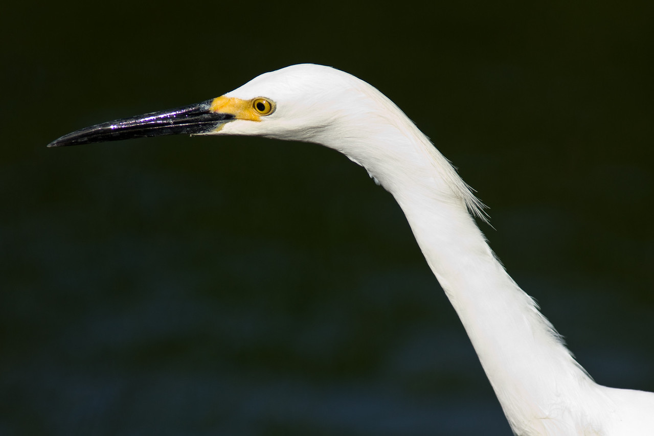 Shark Valley Snowy Egret part 1