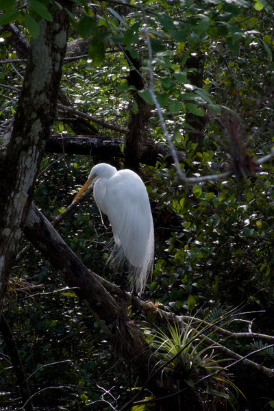 great egret loop road pond