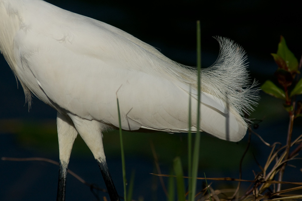 Shark Valley Snowy Egret Part 2