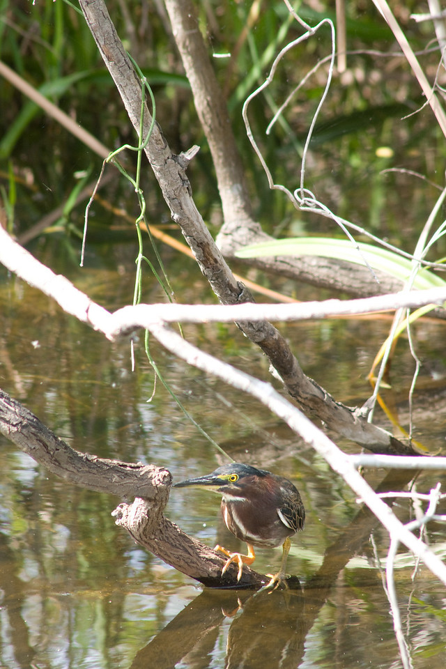 Shark Valley - green heron