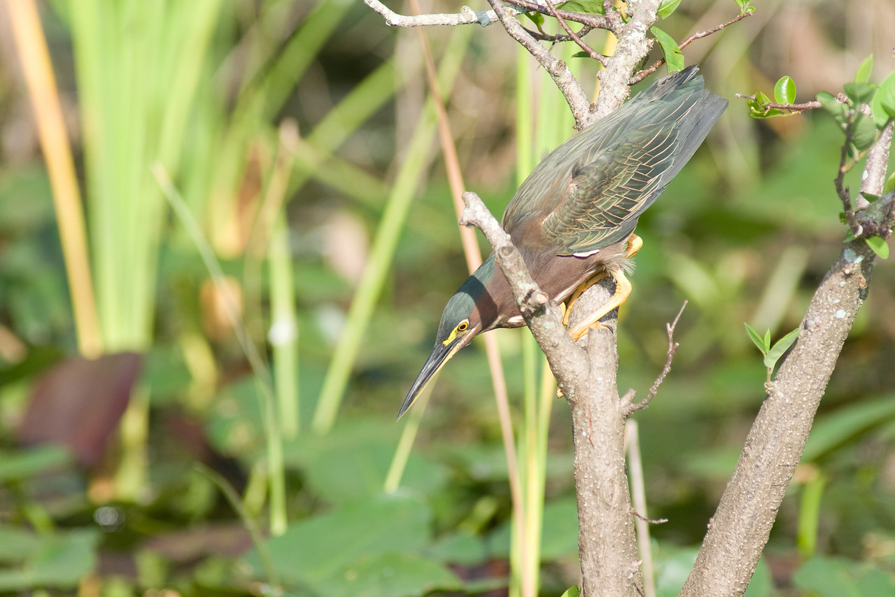 Shark Valley Green Heron