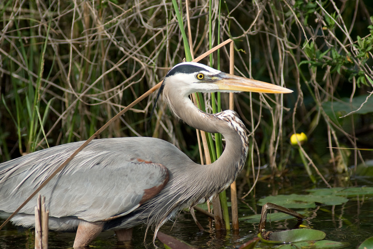 Shark Valley - great blue heron