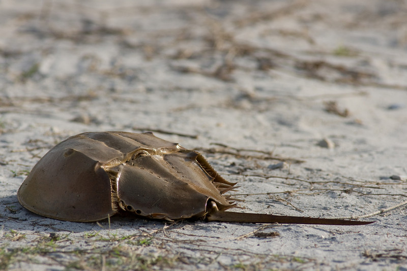 J Ding Darling wildlife preserve - horseshoe crab shell