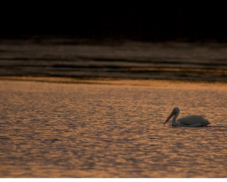 J Ding Darling wildlife preserve - pelican at sunset