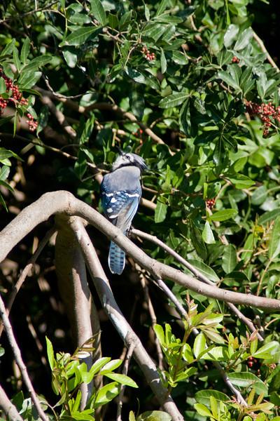 Venice Rookery - blue jay
