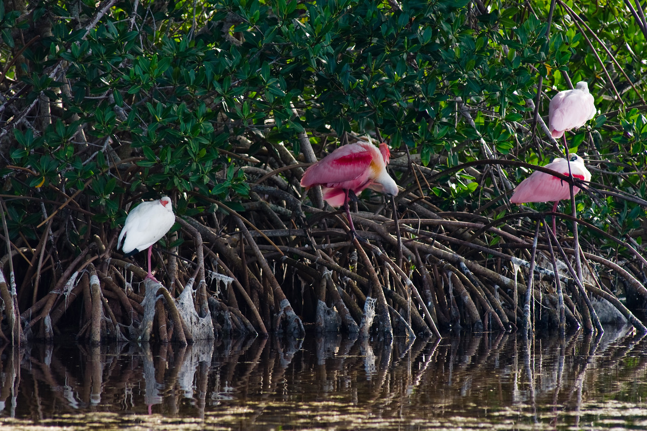 J Ding Darling wildlife preserve - spoonbills and egret at rest