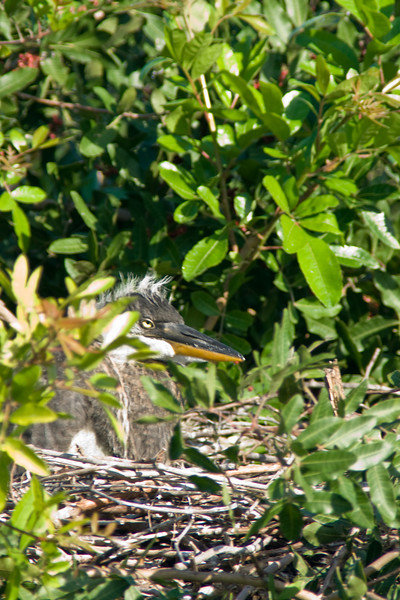 Venice Rookery great blue chick