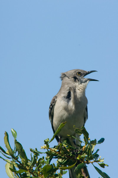 Venice Rookery - mocking bird