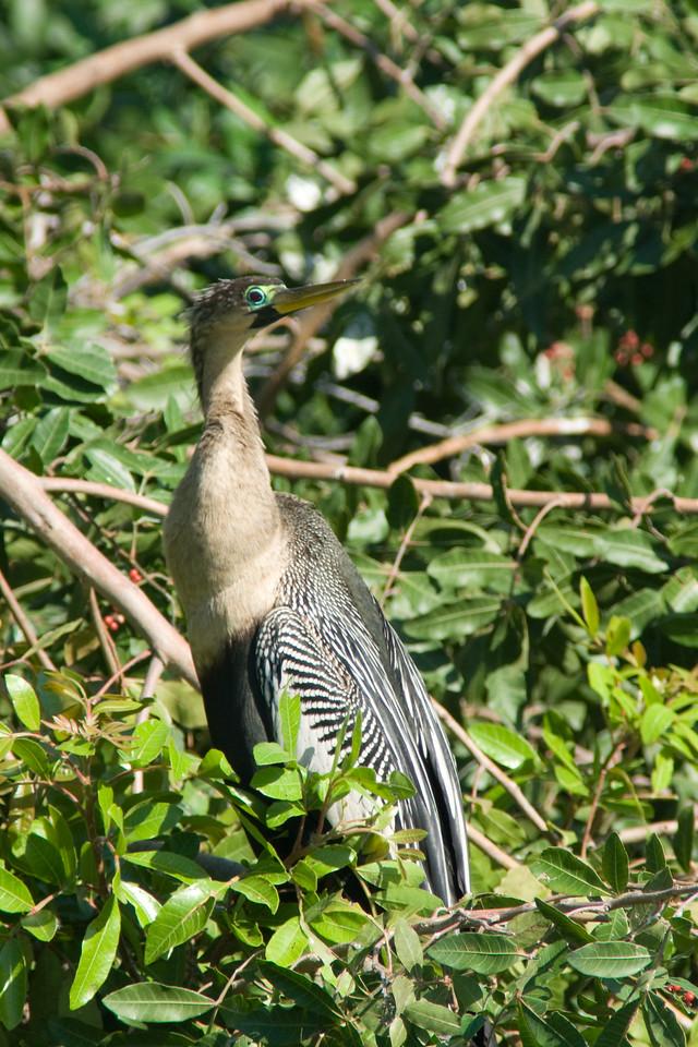 Venice Rookery anhinga - mating plumage