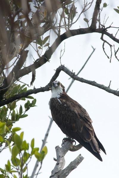 J Ding Darling wildlife preserve - osprey