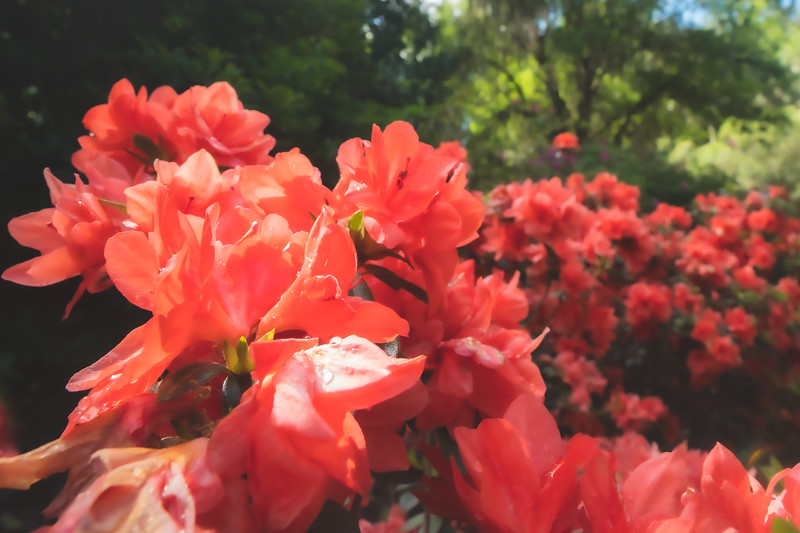 Azaleas at Bok Tower Gardens National Historic Landmark in Lake Wales Florida