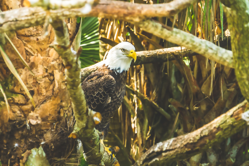 Bald Eagle at Brevard Zoo in Melbourne Florida