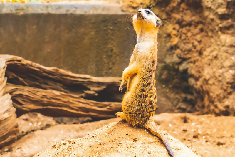 Meerkat at Brevard Zoo in Melbourne Florida