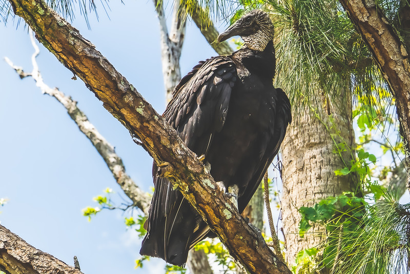 Vulture at Brevard Zoo in Melbourne Florida