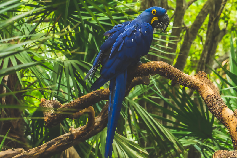 Blue Parrot at Brevard Zoo in Melbourne Florida