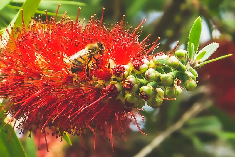 A Bee on Crimson Bottlebrush at Brevard Zoo in Melbourne Florida